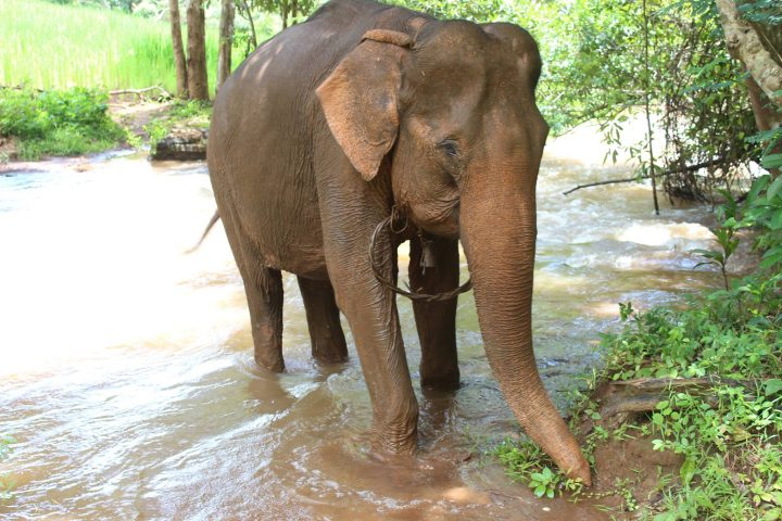 Green Cultural Travel - Cambodia - Mondulkiri - Elephant in the river