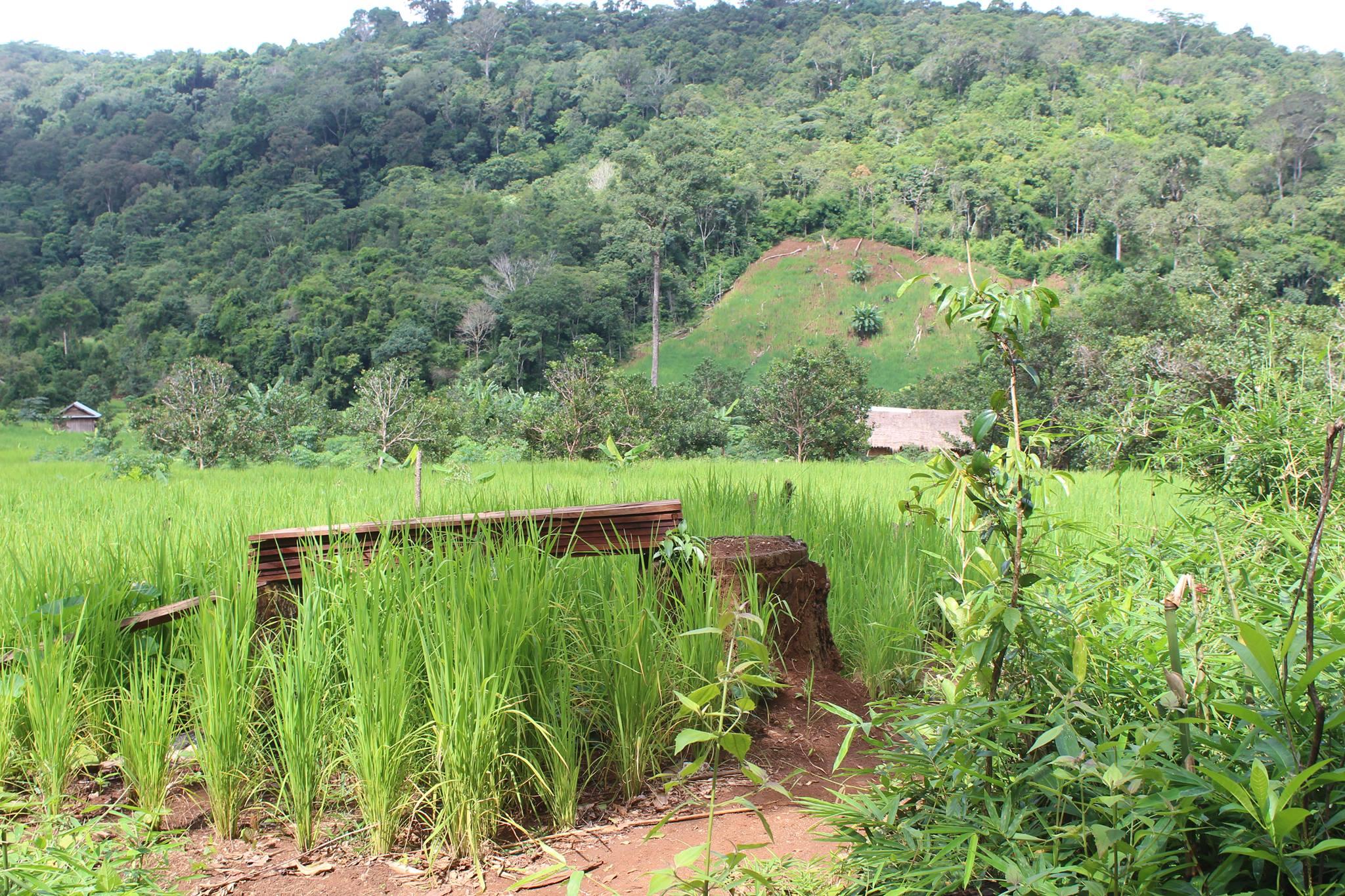 Green Cultural Travel - Cambodia - Mondulkiri - Rice fields and jungle