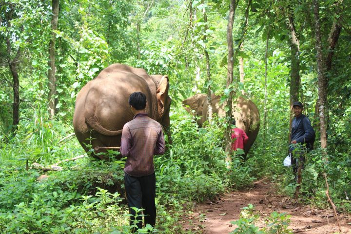 Green Cultural Travel - Cambodia - Mondulkiri - Elephants walking in the forests
