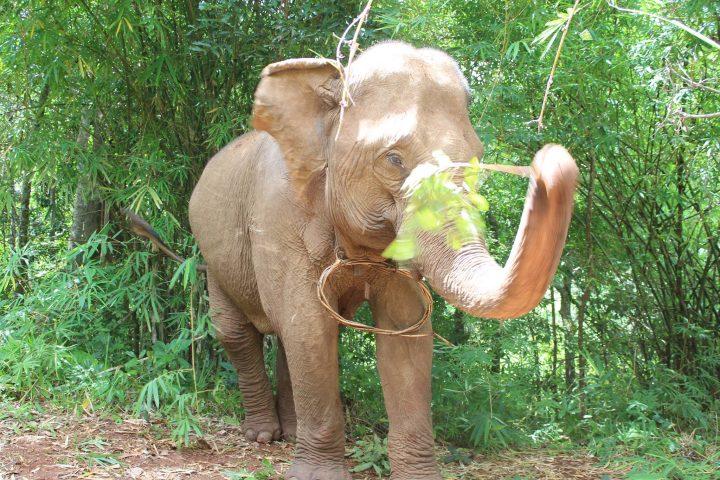 Green Cultural Travel - Cambodia - Mondulkiri - Elephant playing with a branch