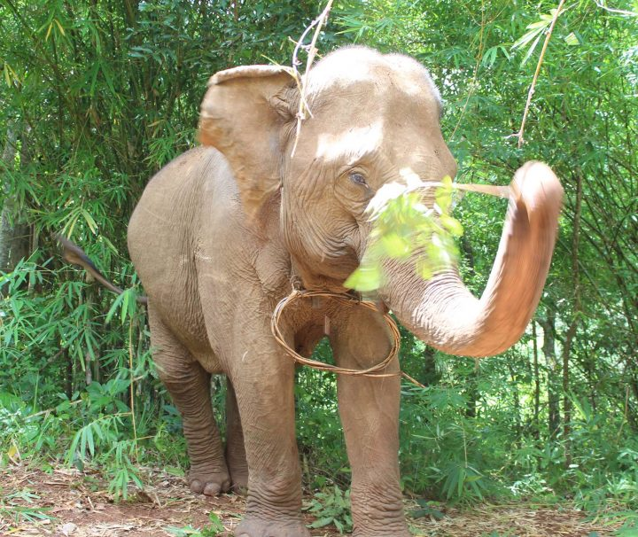 Green Cultural Travel - Cambodia - Mondulkiri - Elephant playing with a branch