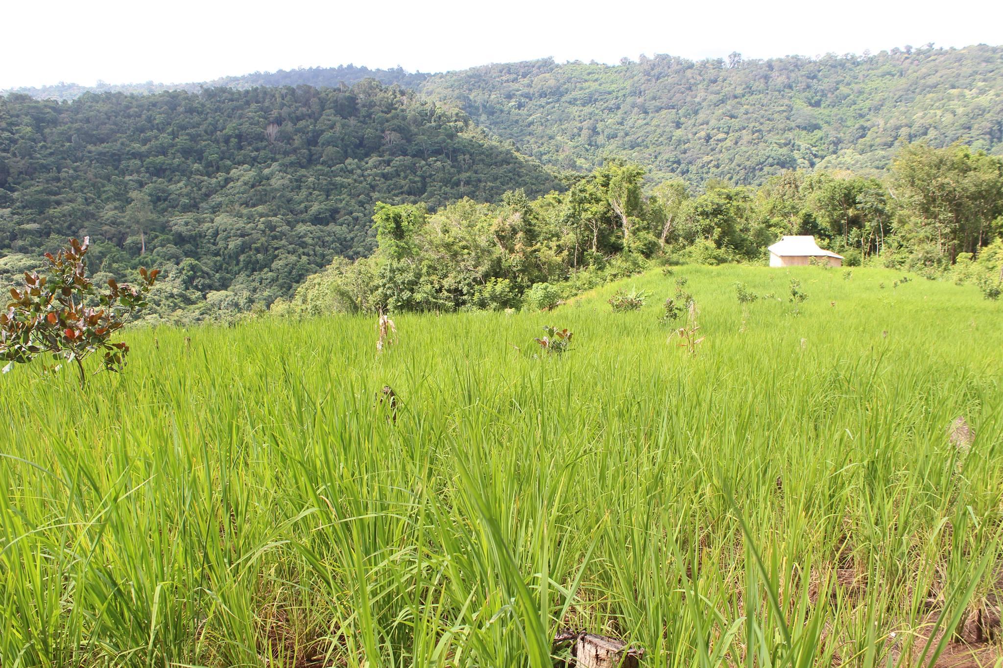 Green Cultural Travel - Cambodia - Mondulkiri - Rice field and jungle