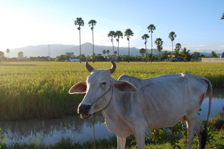 Green Cultural Travel - Cambodia - Countryside - Cows