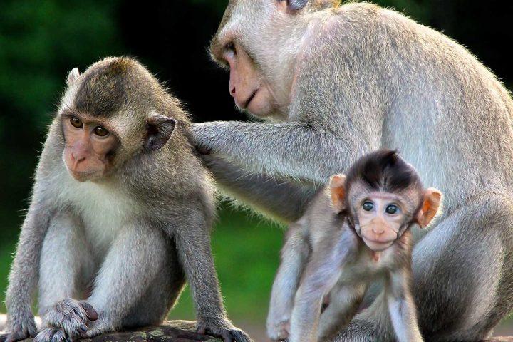 Green Cultural Travel - Cambodia - Siem Reap - Monkeys on Angkor Wat